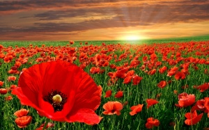 red-poppy-flowers