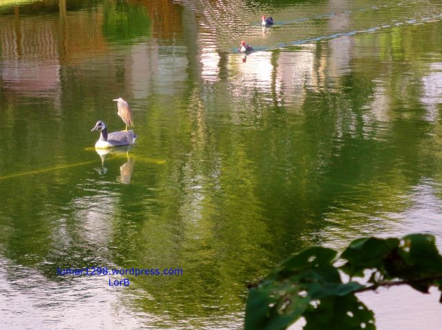 Racing Ducks