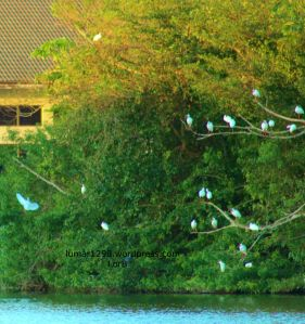 Abandoned Egrets