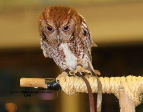 Feisty Owl