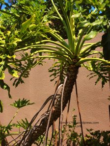 Philodendron selloum