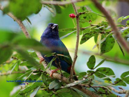 Blue Cheeck Cordon Blue