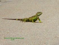 Lizard Crossing the Road