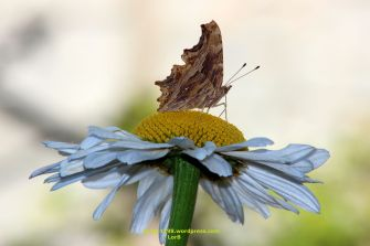 Butterfly on a Daisy
