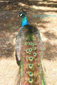 Peacock's Back