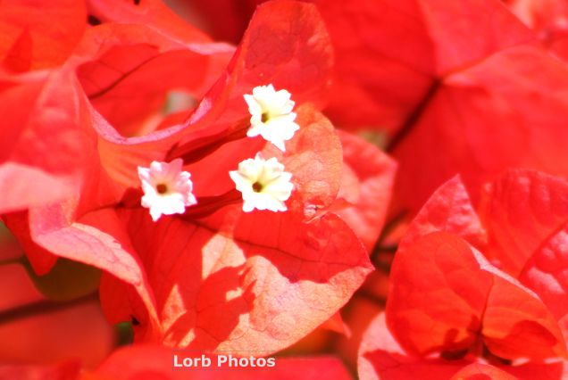Red Bugambilia
