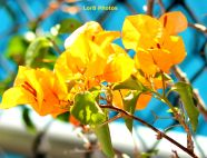 Yellow Bugambilia