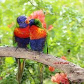 Hugging Lorikeets