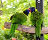 Kissing Lorikeets
