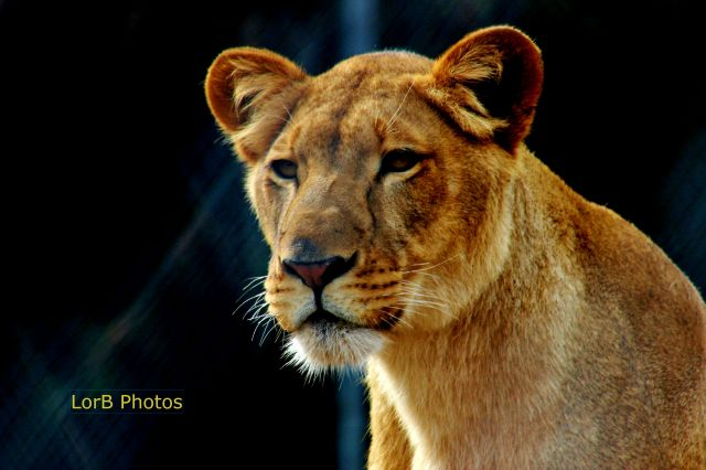 Serious Lioness