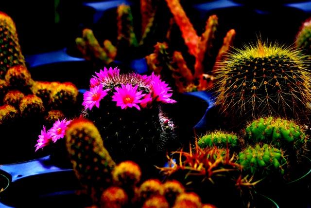 Purple Cactus Redone