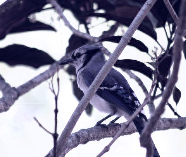 5-25 Blue Jay