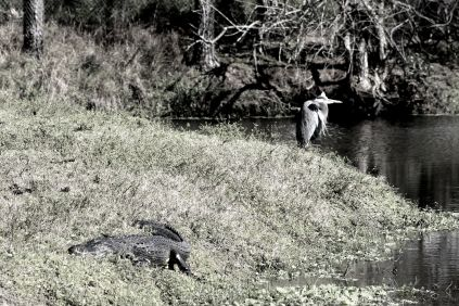 Alligator and Heron