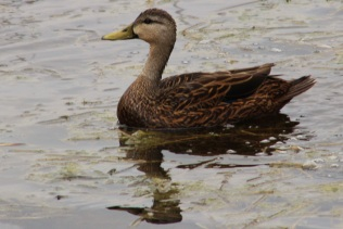 Molted Duck