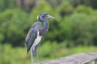 Heron (1)